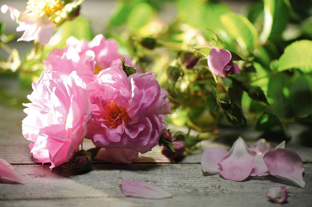 rosa-damascena-damaszener-rose_press