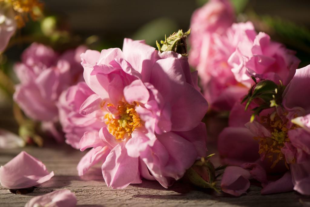 rosa-damascena-rose-promo